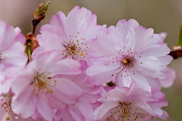 Cherry blossoms are the first sign of spring in Hasselt, Belgium