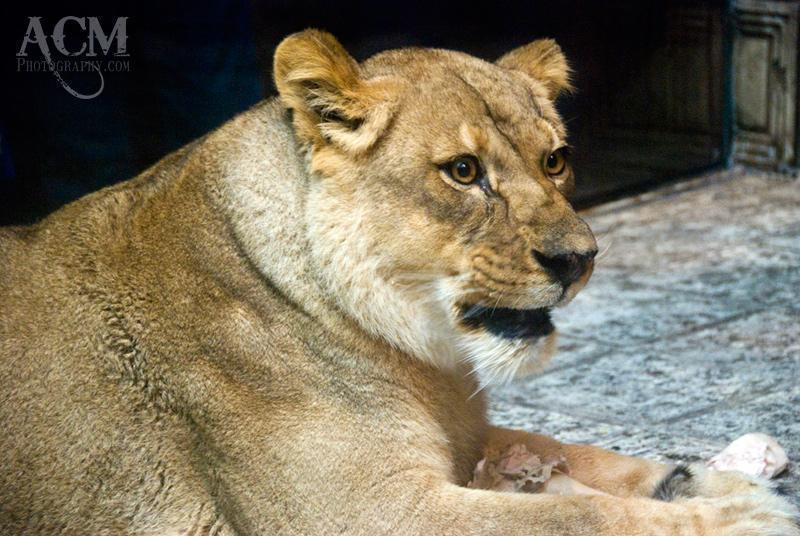 One of the MGM Grand Lions