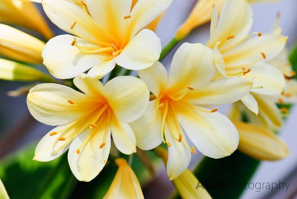 Clivia miniata Citrina (commonly known as Kaffir lily or Bush lily)