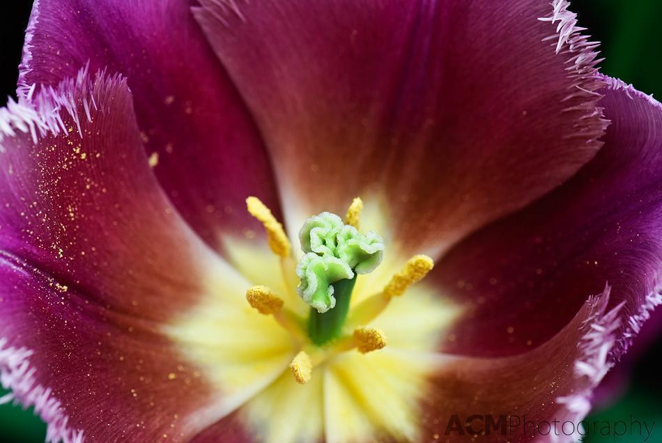 Tulipa 'Talitha'