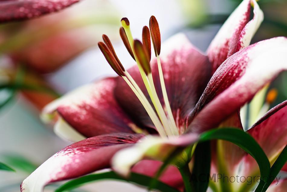 Lilium 'Push Off' Lily