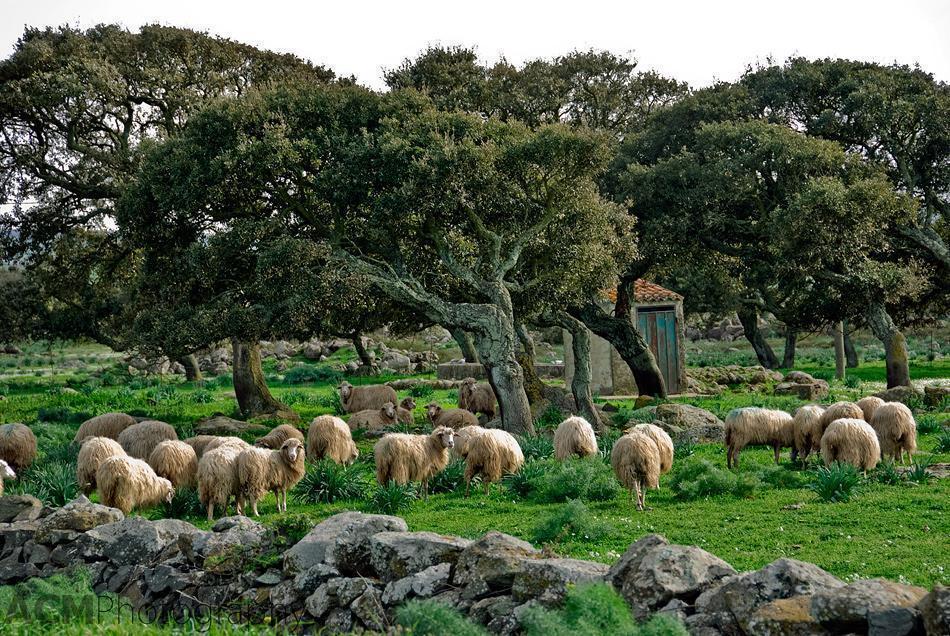 Sardinian Agriculture - Sheep and Cork