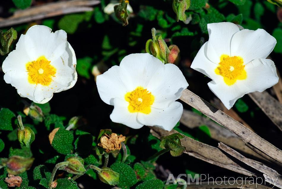 Cistus monspeliensis is a species of rockrose known as Montpelier cistus.