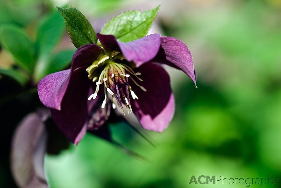 Purple Hellebore (another of my favourites)