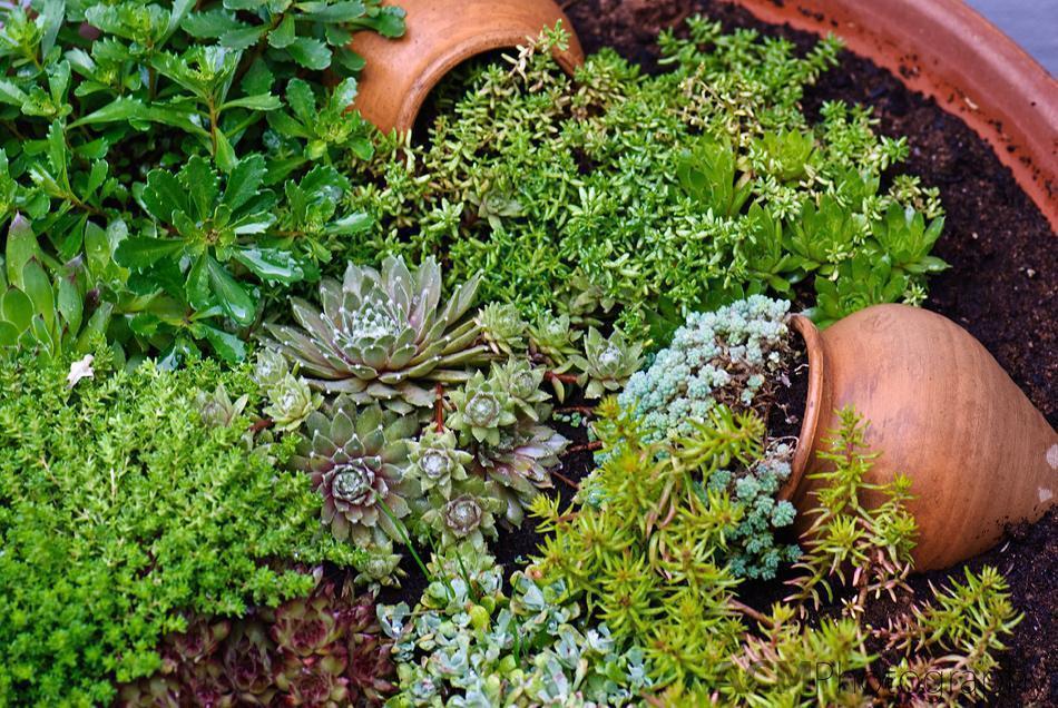 Ice plant garden