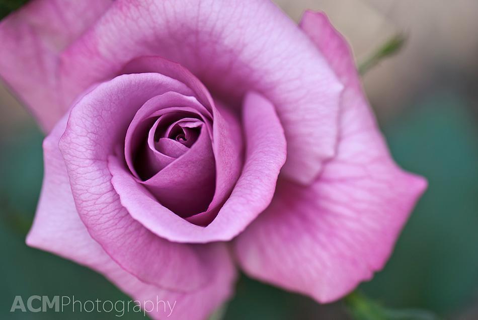 Rose Ludmilla in Coloma Rose Garden