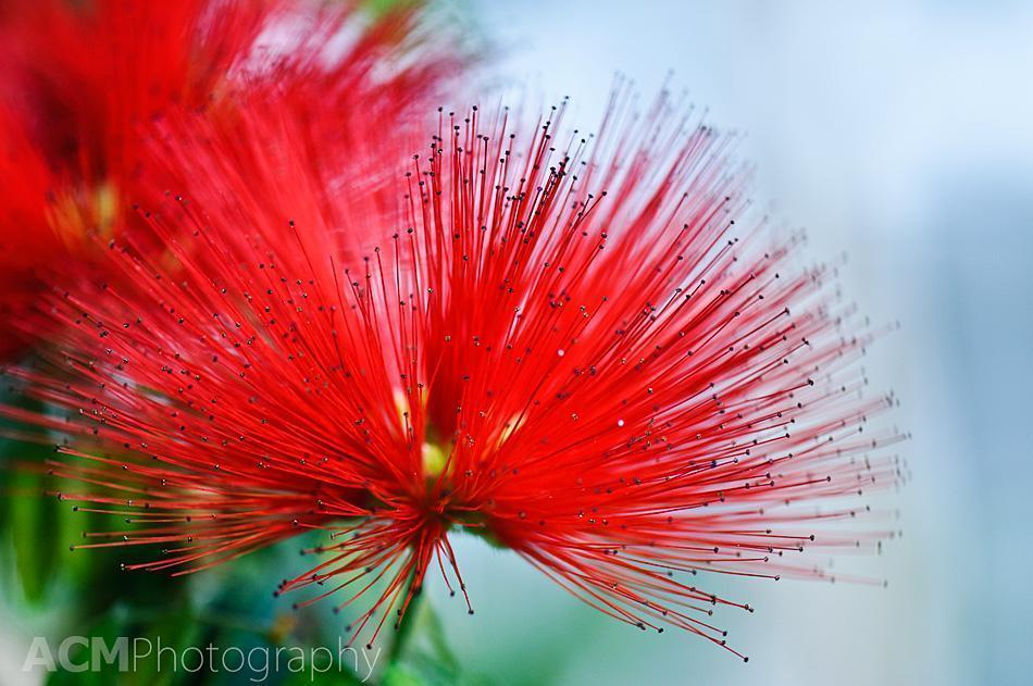 Calliandra Tweedii or Mexican Flamebrush