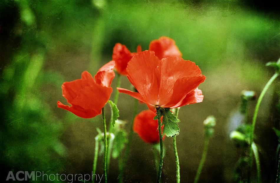 Poppies at The National Botanical Garden of Belgium