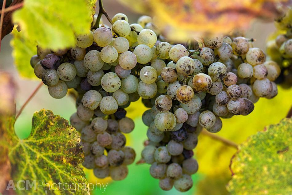 Grapes for Wine