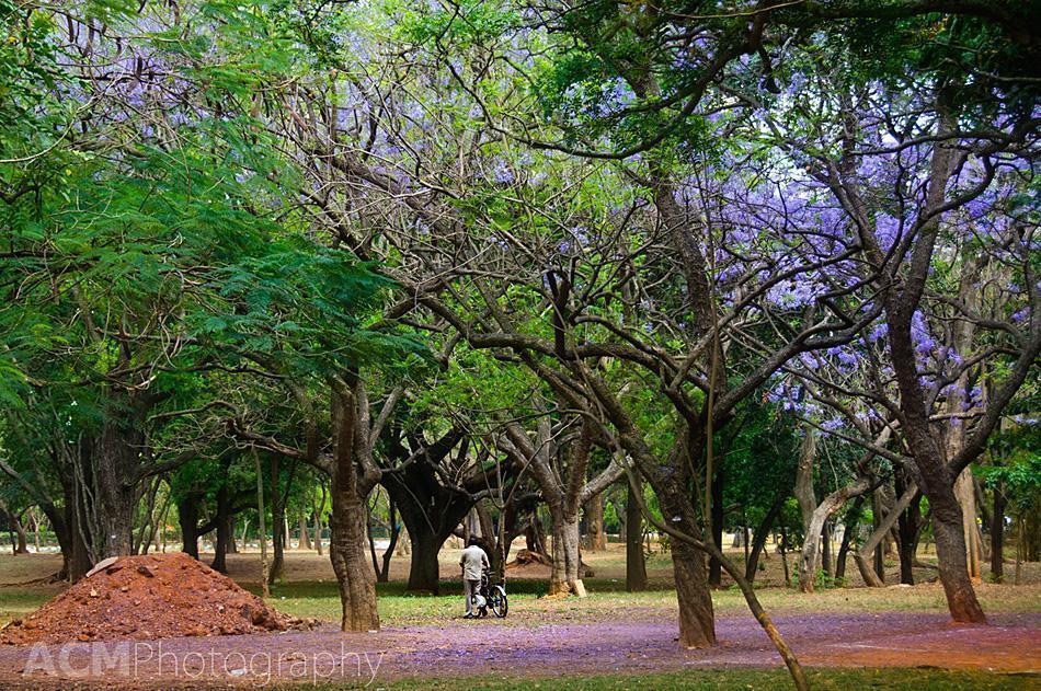 Flowering trees in Bangalore