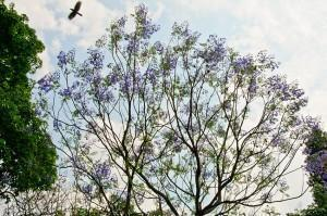 Purple Jacaranda trees in Cubbon Park