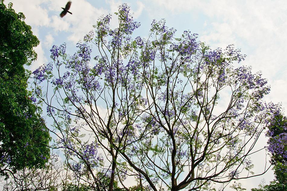 Purple Jacaranda trees in Cubbon Park