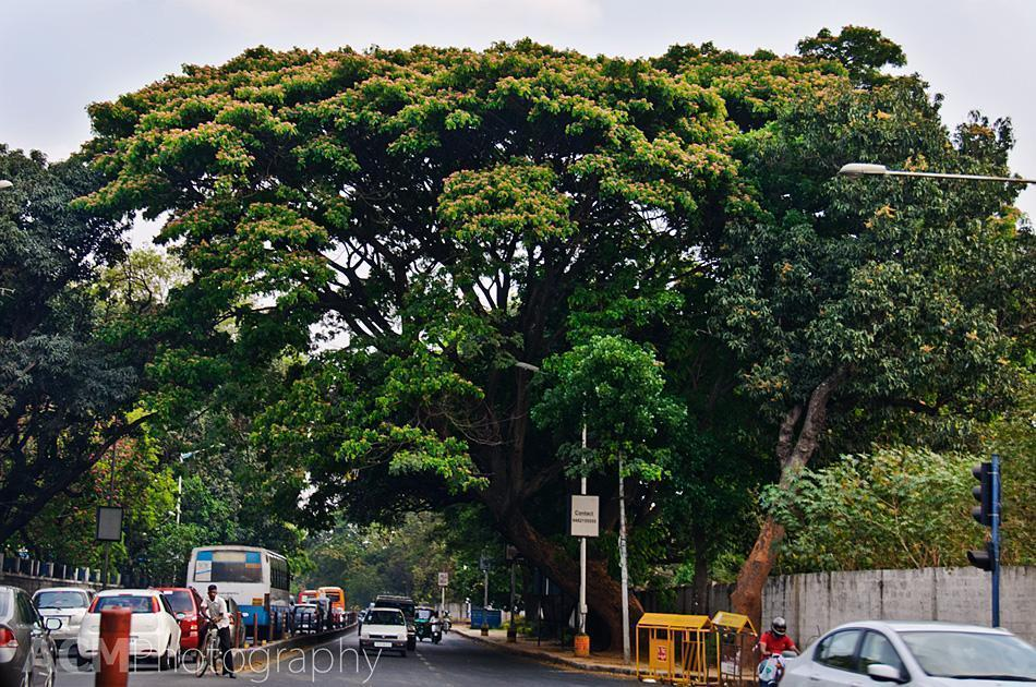 Flowering trees canopy even Bangalore's busiest streets
