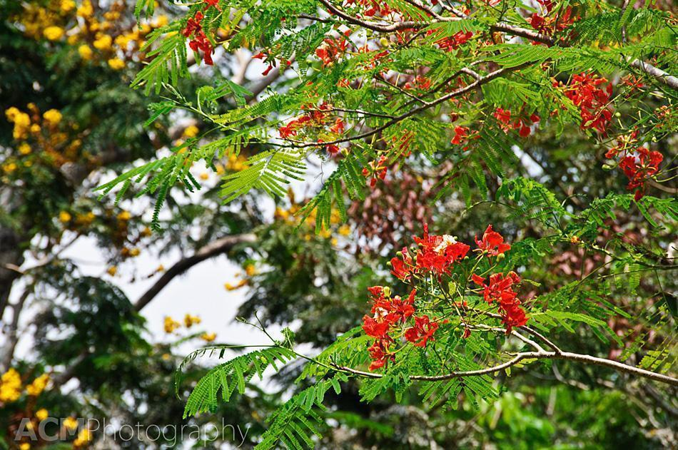 Red Gulmohar tree and yellow Grevillea robusta (silver oak)