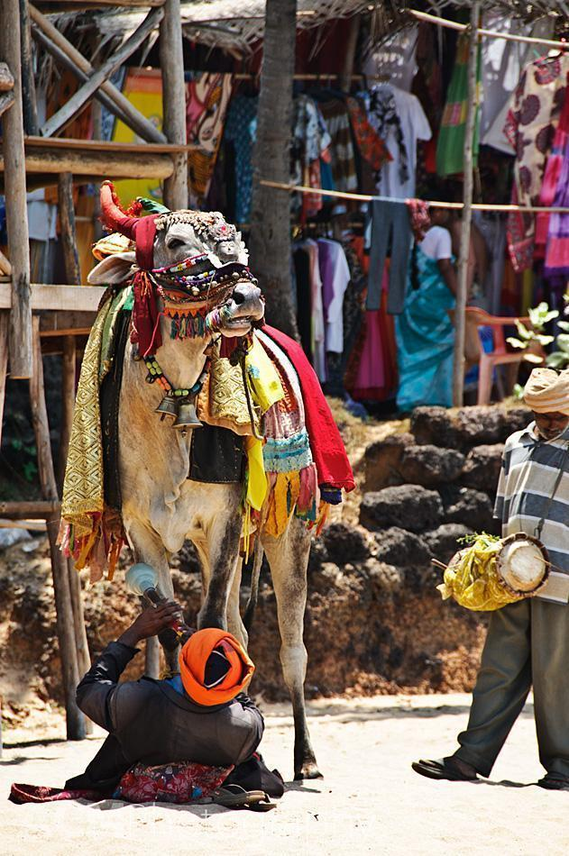 Cow on Anjuna Beach, Goa