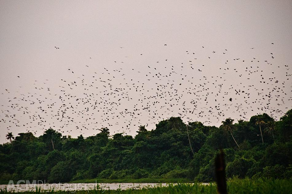 Thousand of flying-foxes take to the sky in Kumarakom