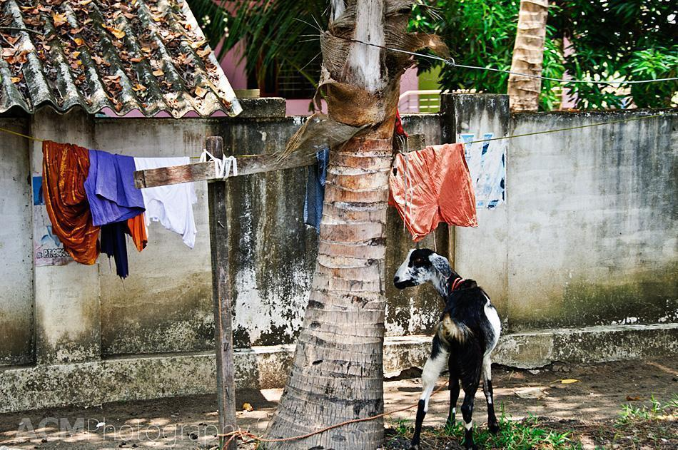 Laundry and Livestock in Kerala