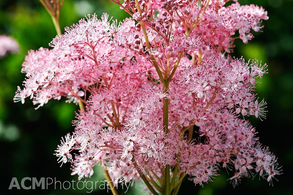 Pretty in Pink - Flowers in the Garden for Peace