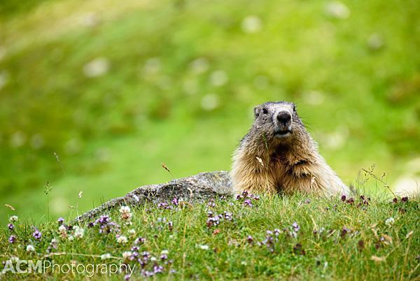 Alpine Marmot in the Pyrenees
