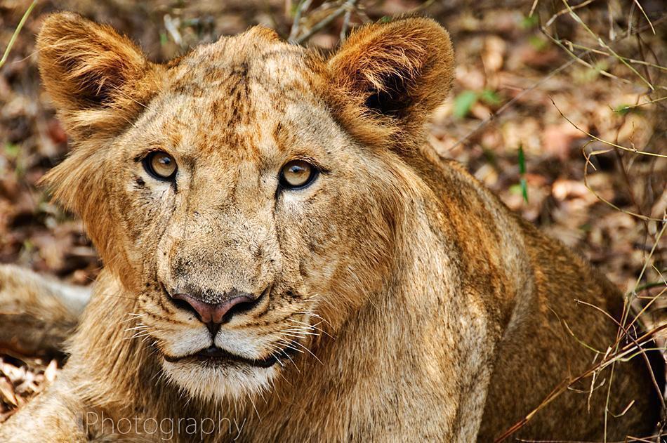 Lion at a safari park in Bangalore India