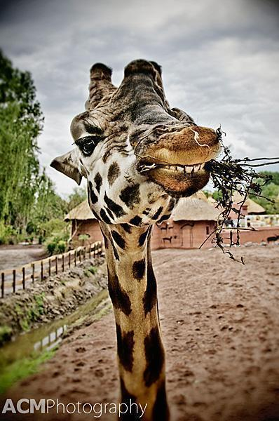 The friendly giraffes of Pairi Daiza