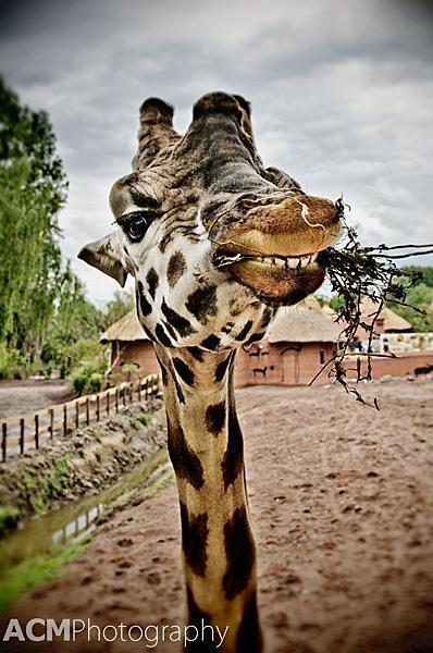 Smiling Giraffe at Pairi Daiza Zoo, Belgium