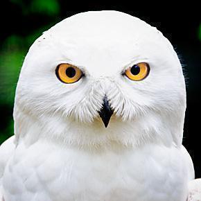 Snowy Owl, Pairi Daiza, Wallonia, Belgium