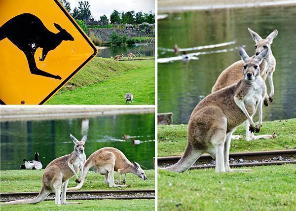 Kangaroos in Pairi Daiza