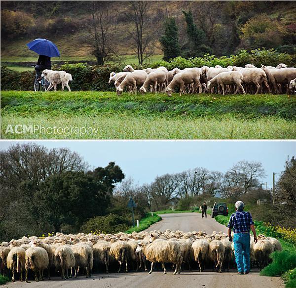 Flocks of sheep on back-roads