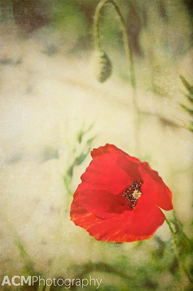 Poppy in Andalusia