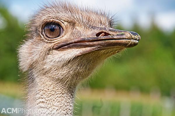Autrucherie du Pont d'Amour ostrich farm