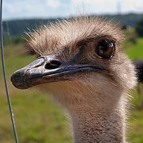 Ostrich farm in Belgium