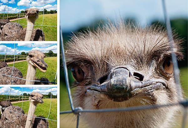 Curious ostriches