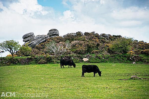 Cows and rock formation in Dartmoor