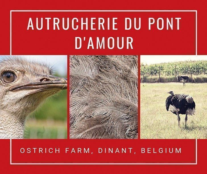 Ah, the beautiful Belgian countryside. Is there anything more calming than driving past fields of corn, cattle, bales of golden hay and ... ostriches?!? This was our reaction when we first discovered the Autrucherie du Pont d'Amour ostrich farm, near Dinant, Belgium.