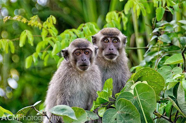 Long Tailed Macaques, Sabah, Malaysia
