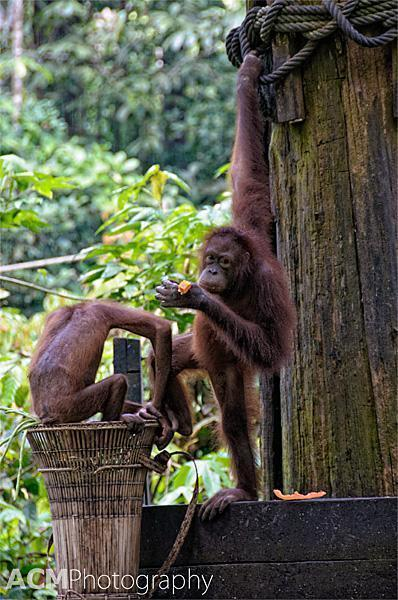 Time to share! 4 Orangutans arrived for lunch that day.