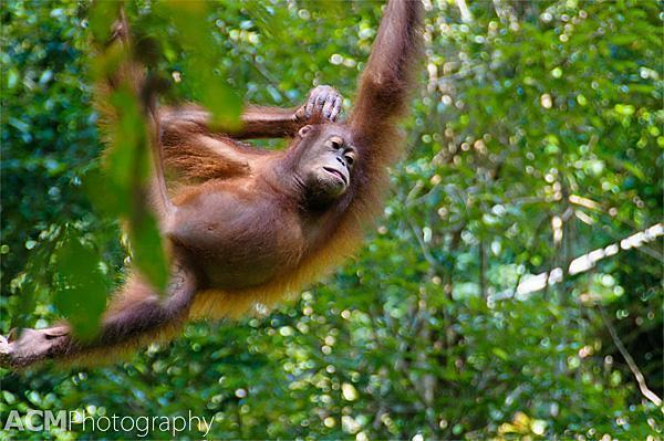 The incredible orangutans of Boreno