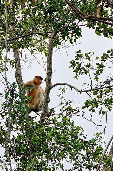 Look up. Look waaaay up. And you may just spot a proboscis monkey.