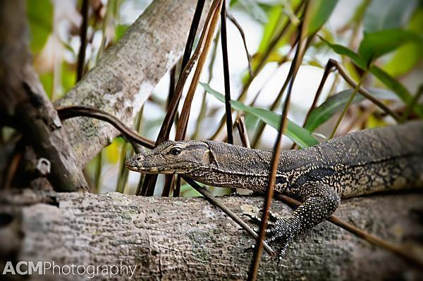 This lazy lizard wasn't bothered by our presence at all.