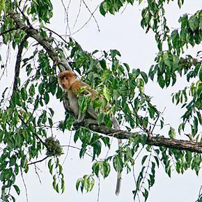 Sabah's famous long-nosed proboscis monkey