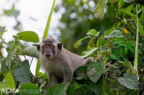 Macaque on the Klias River