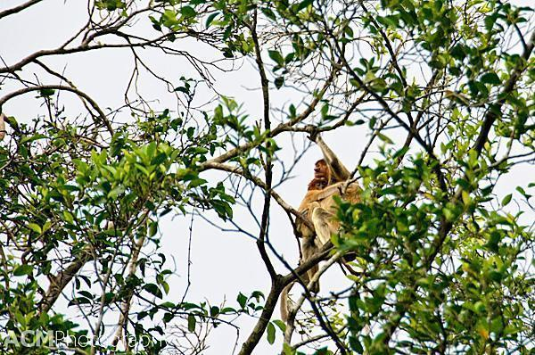 Mama and baby proboscis monkeys.