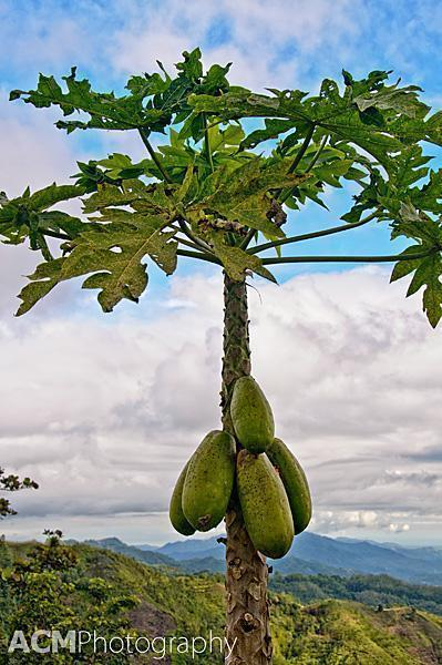Papayas are one of the many fruits grown on the approach to Kinabalu Park