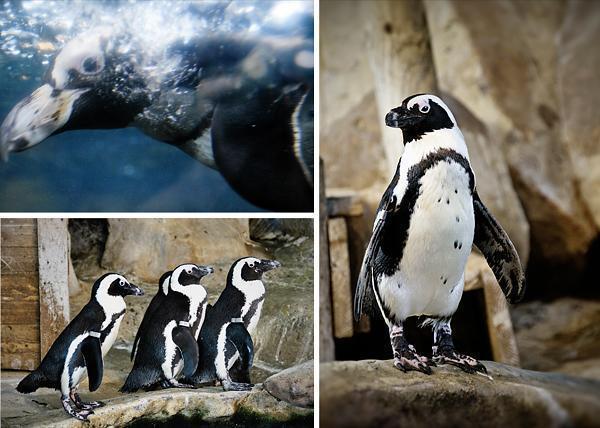 Penguins at NAUSICAA
