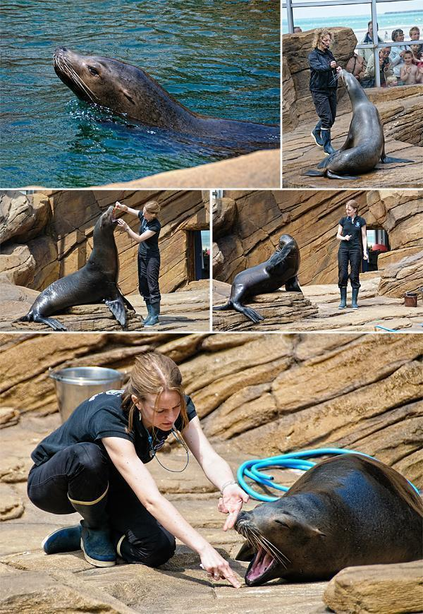 The clever California Sea Lions