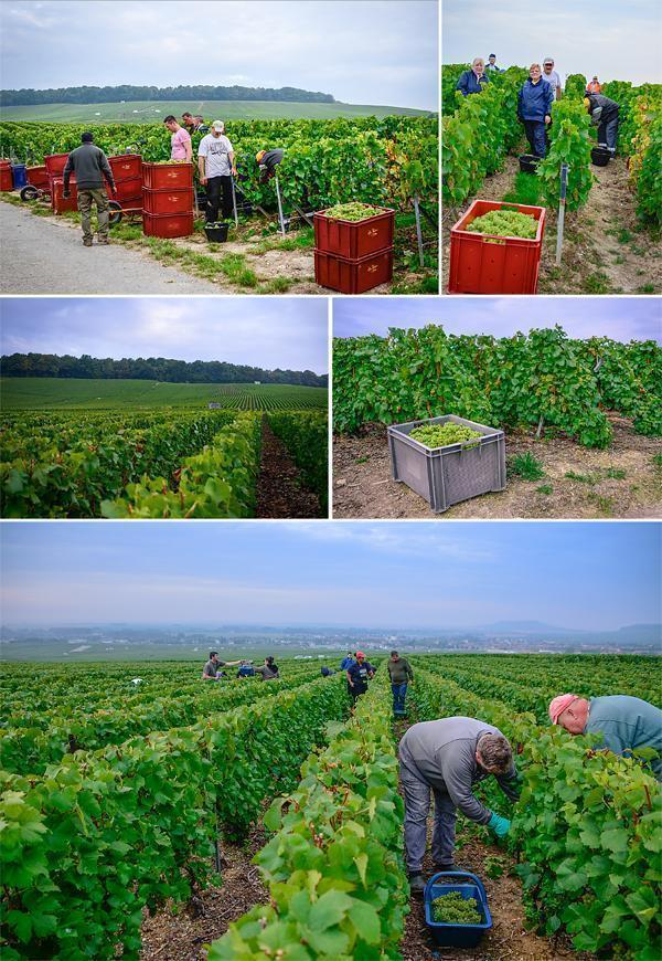 Hard work but still smiling in the champagne vineyards