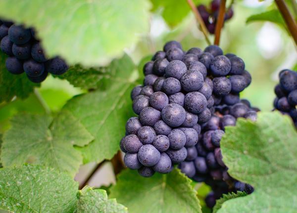 Pinot Noir vineyard at Mercier House