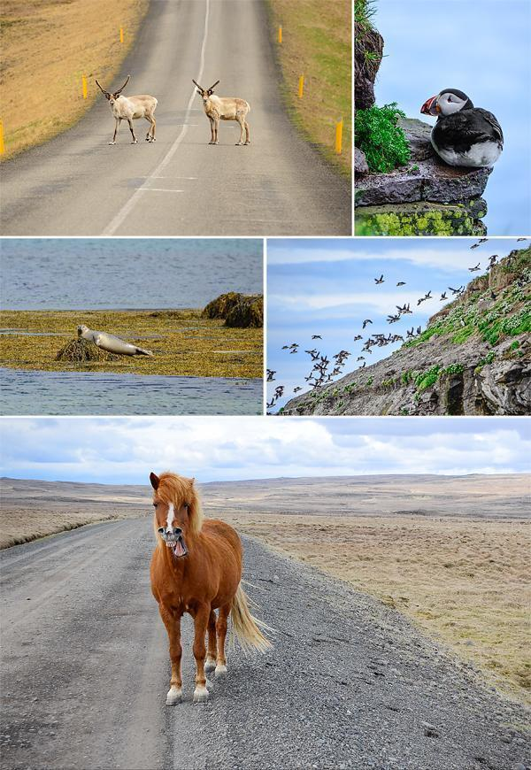 Wildlife spotting in Iceland