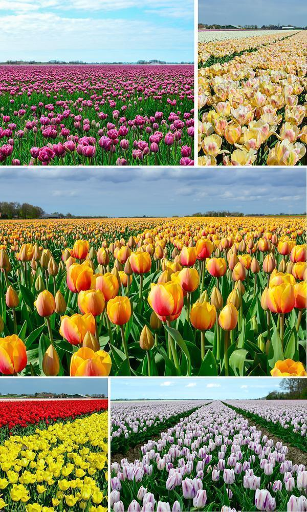 Exploring the Dutch tulip fields in spring